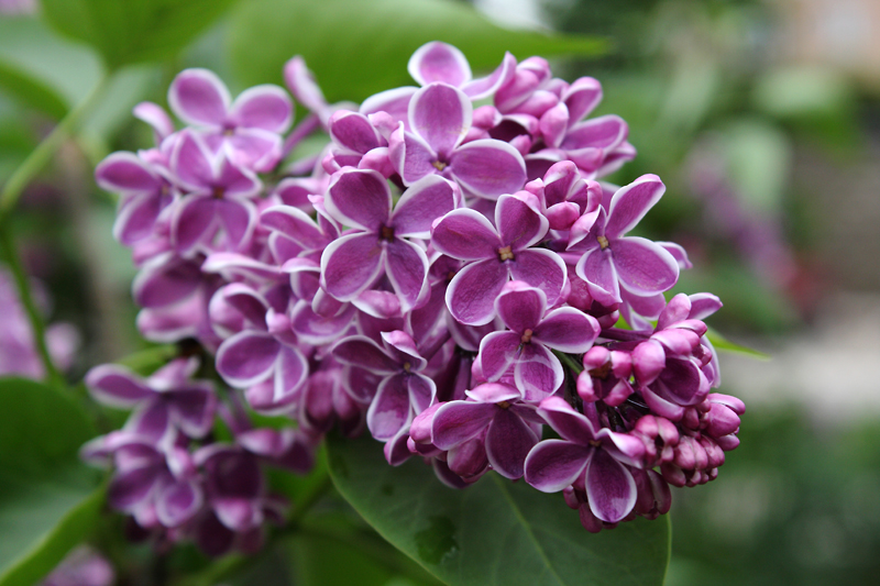 Lilacs at Lilacia Park in Lombard, IL